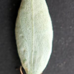 Photographie n°2250847 du taxon Polygonum maritimum L. [1753]