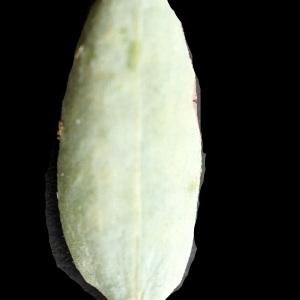 Photographie n°2250848 du taxon Polygonum maritimum L. [1753]