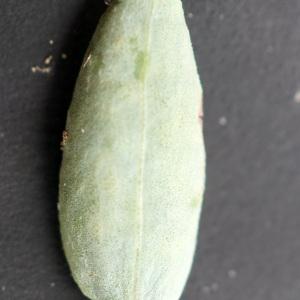 Photographie n°2250849 du taxon Polygonum maritimum L. [1753]