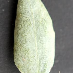 Photographie n°2250850 du taxon Polygonum maritimum L. [1753]
