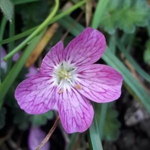 Photographie n°2250970 du taxon Geranium cinereum Cav. [1787]