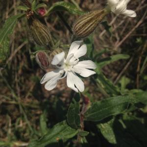 - Lychnis macrocarpa Boiss. & Reut. [1845]