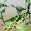 Liliane Roubaudi - Symphyotrichum subulatum (Michx.) G.L.Nesom [1995]