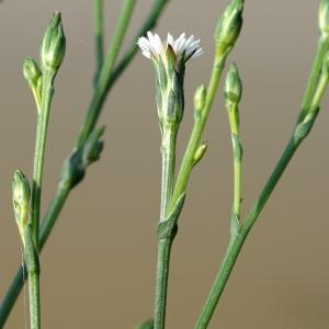 Symphyotrichum subulatum (Michx.) G.L.Nesom [1995] (Annual Saltmarsh-aster)