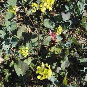 Photographie n°2251163 du taxon Sinapis arvensis L. [1753]
