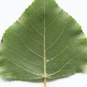 Photographie n°2251226 du taxon Populus nigra L.