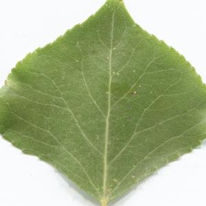Photographie n°2251227 du taxon Populus nigra L.