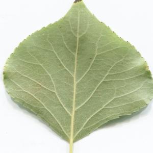 Photographie n°2251228 du taxon Populus nigra L.