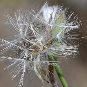Photographie n°2251255 du taxon Chondrilla juncea L. [1753]