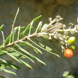 Photographie n°2251298 du taxon Daphne gnidium L. [1753]