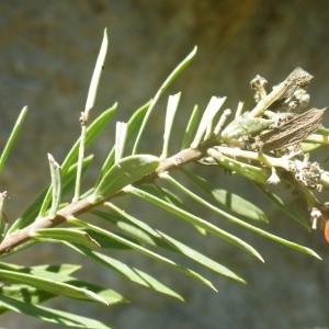 Photographie n°2251299 du taxon Daphne gnidium L. [1753]