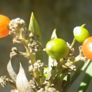 Photographie n°2251301 du taxon Daphne gnidium L. [1753]