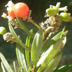 Photographie n°2251303 du taxon Daphne gnidium L. [1753]