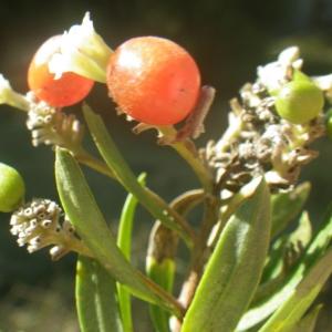 Photographie n°2251304 du taxon Daphne gnidium L. [1753]