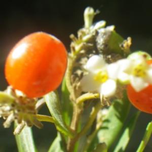 Photographie n°2251305 du taxon Daphne gnidium L. [1753]
