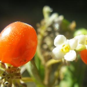 Photographie n°2251307 du taxon Daphne gnidium L. [1753]