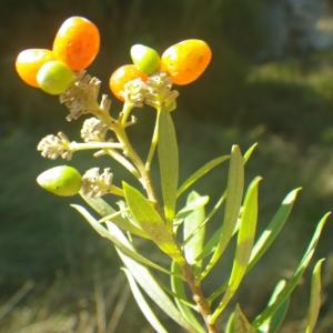 Photographie n°2251310 du taxon Daphne gnidium L. [1753]