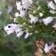 Erica multiflora L. [nn24765] par dbastia le 21/10/2018 - Saint-Mathieu-de-Tréviers