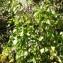 Physalis alkekengi L. [nn49155] par cigales le 21/10/2018 - 66600 Opoul-Périllos, France
