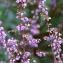 Calluna vulgaris (L.) Hull [nn12262] par Michel Pansiot le 15/10/2018 - Clérieux