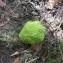 Maclura pomifera (Raf.) C.K.Schneid. [nn40647] par Colette Dorion le 06/10/2018