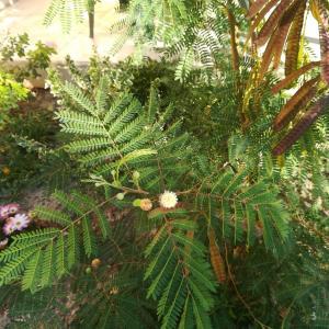 Photographie n°2251389 du taxon Leucaena leucocephala (Lam.) de Wit [1961]