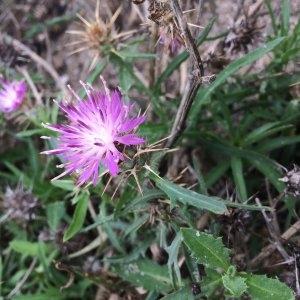 Photographie n°2251466 du taxon Centaurea calcitrapa L. [1753]