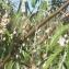 Liliane Roubaudi - Elaeagnus angustifolia L. [1753]