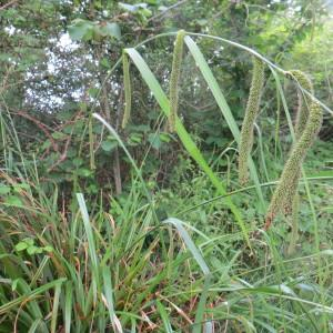 Photographie n°2251957 du taxon Carex pendula Huds.