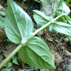 Photographie n°2252078 du taxon Lysimachia nemorum L.