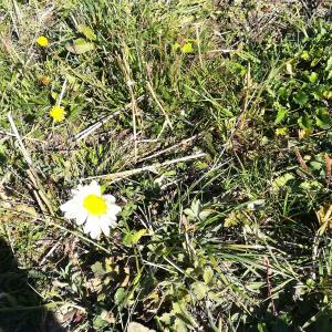 Photographie n°2252187 du taxon Chrysanthemum leucanthemum L. [1753]