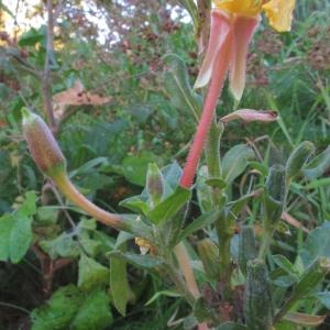 Photographie n°2252247 du taxon Oenothera biennis L. [1753]