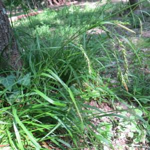 - Carex sylvatica subsp. sylvatica