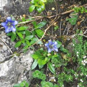 - Gentianaceae