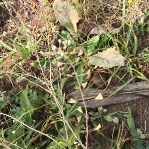 Photographie n°2252922 du taxon Capsella bursa-pastoris (L.) Medik.