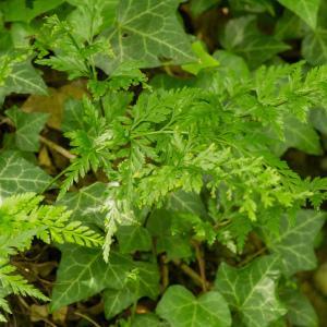 Photographie n°2252998 du taxon Asplenium adiantum-nigrum L.
