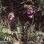 Liliane Roubaudi - Oxytropis helvetica Scheele [1843]