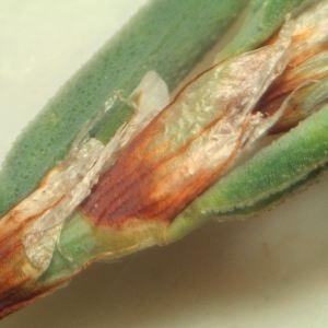 Photographie n°2253302 du taxon Polygonum maritimum L. [1753]