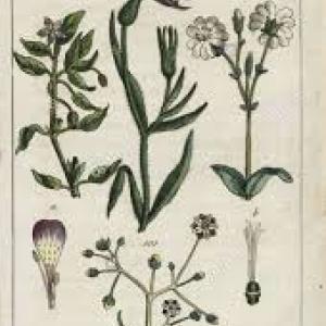 Photographie n°2253375 du taxon Agrostemma githago L. [1753]
