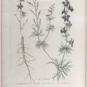 Photographie n°2253523 du taxon Pied d'alouette