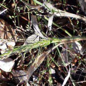 Photographie n°2253565 du taxon Panicum capillare L. [1753]