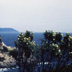 Photographie n°2253854 du taxon Anthyllis barba-jovis L.