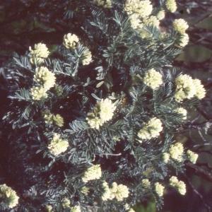 Photographie n°2253855 du taxon Anthyllis barba-jovis L.