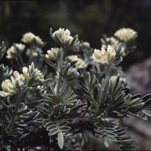 Photographie n°2253858 du taxon Anthyllis barba-jovis L.