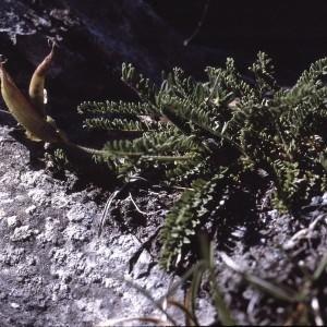 Photographie n°2253898 du taxon Oxytropis fetida (Vill.) DC. [1802]