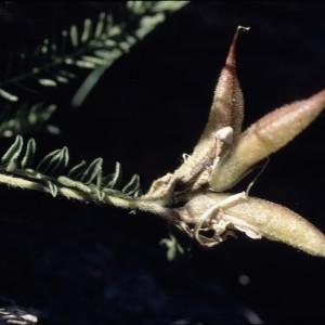 Photographie n°2253899 du taxon Oxytropis fetida (Vill.) DC. [1802]