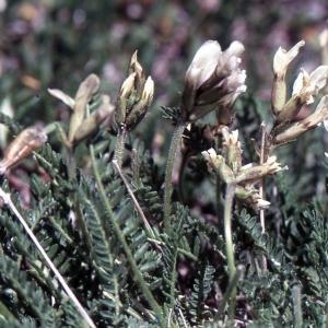 Photographie n°2253900 du taxon Oxytropis fetida (Vill.) DC. [1802]