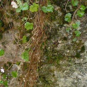 Photographie n°2254251 du taxon Cymbalaire des murailles