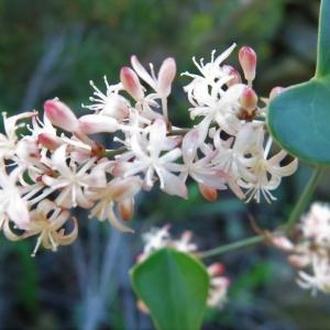 Photographie n°2254391 du taxon Smilax aspera L. [1753]
