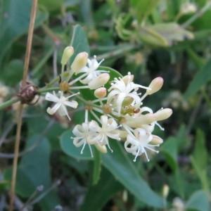 Photographie n°2254392 du taxon Smilax aspera L. [1753]